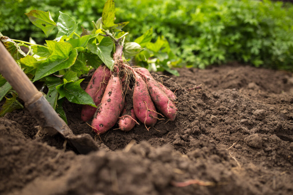 Around the Countryside: Putting Sweet Potatoes in the Home Garden