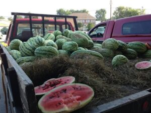 ONE GARDENER TO ANOTHER: Growing melons in the home garden | Columns